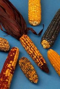 espiga maíz